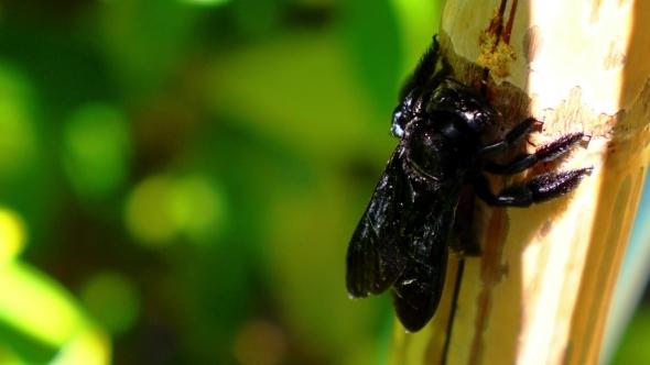 Beautiful Big Black Bright Bee Eating Palm Tree
