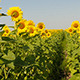 Beautiful Blooming Field Of Sunflowers - VideoHive Item for Sale