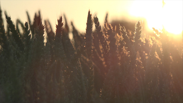Wheat Field and Sunset 2