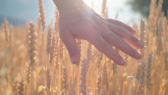 Hands In The Wheat Field