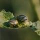 Colorado Potato Beetle - VideoHive Item for Sale
