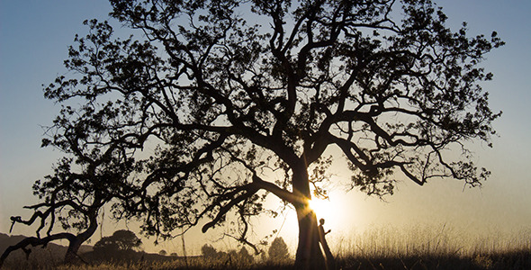 Oak Tree Silhouetted by Sunset