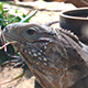 Lizard Eating 2 - VideoHive Item for Sale