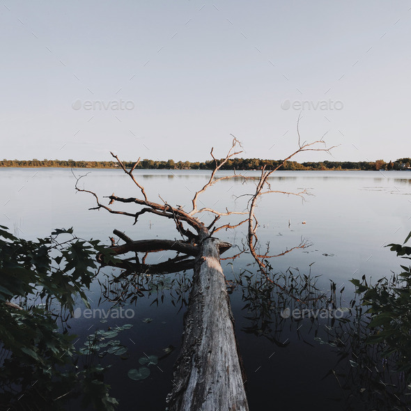 Fallen tree on a lake at dusk - Stock Photo - Images