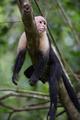 Gracile Capuchin Monkey - PhotoDune Item for Sale