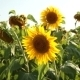 Sunflowers On The Field - VideoHive Item for Sale