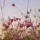 Wild Flowers Of Pink Color  - VideoHive Item for Sale