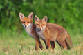 Two wild red foxes - PhotoDune Item for Sale