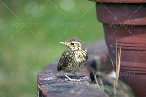 Baby Song Thrush - Stock Photo - Images