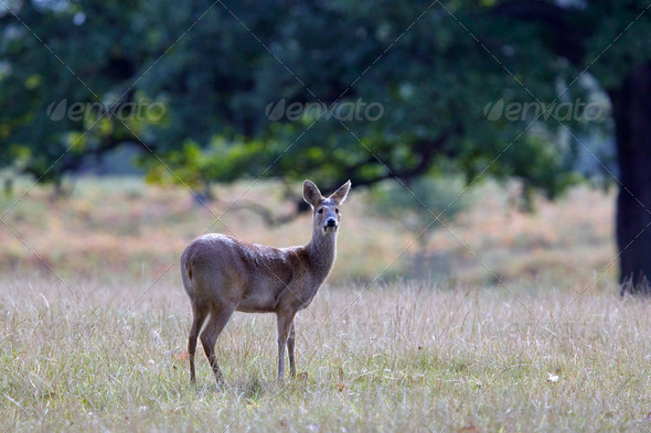 Doe deer - Stock Photo - Images
