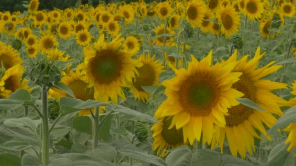 Sunflower Petals and Leaves are Fluttering Field