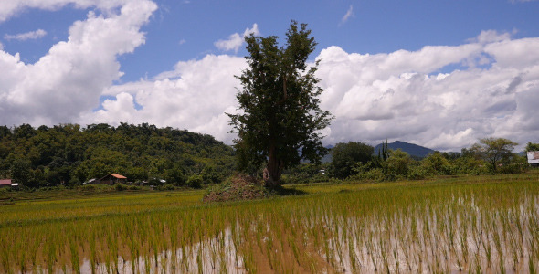 Rice Fields And Trees