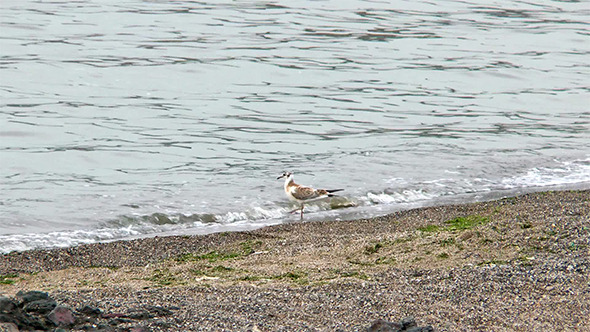 Seagull in the Water on the Beach Looking for Food