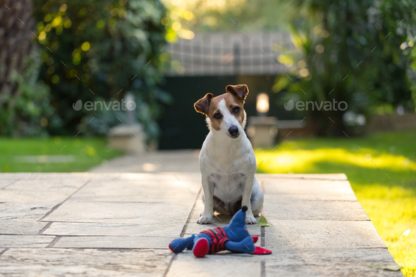 Jack Russell with toy - Stock Photo - Images