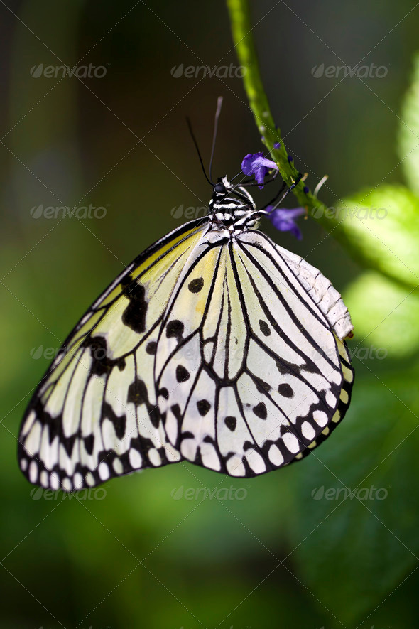 Paper Kite Butterfly - Stock Photo - Images