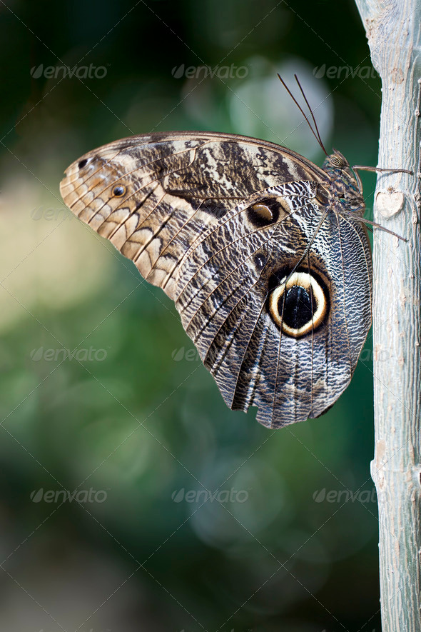 Owl Butterfly - Stock Photo - Images