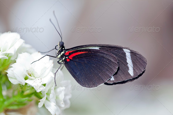 Sara Longwing Butterfly - Stock Photo - Images