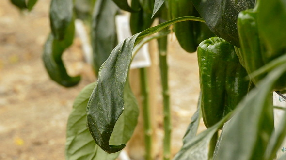 Pepper Fruit Hanging at Branch in Greenhouse