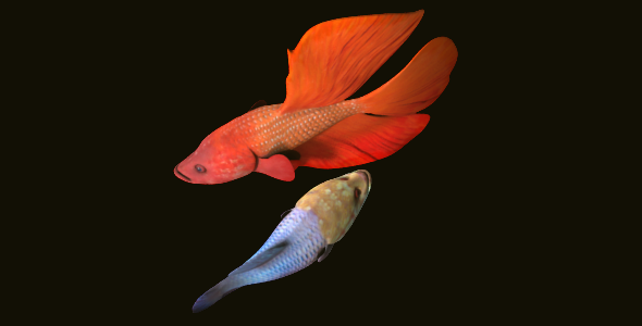Fighting Fish - 3DOcean Item for Sale