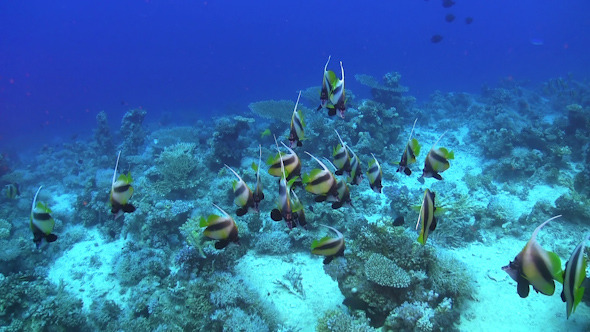 Tropical Banner Fish on Vibrant Coral Reef