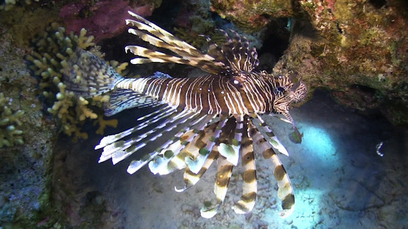 African Lionfish on Coral Reef
