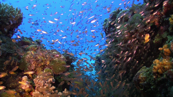 Huge Shoal of Small Fish on Coral Reef
