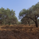 Olive Trees - VideoHive Item for Sale