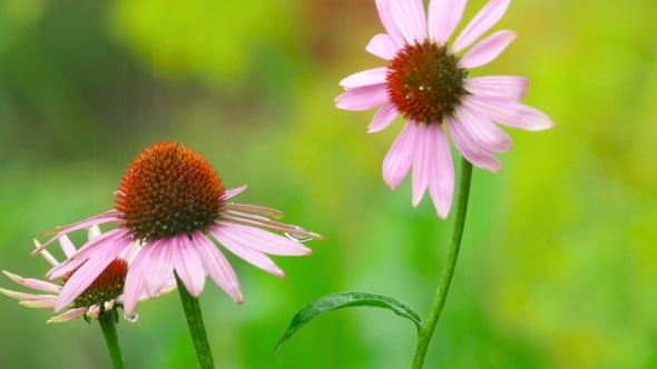 Echinacea Flowers In Rain