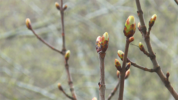 Spring Buds in the Rain