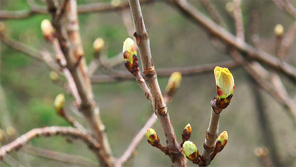 Chestnut Buds in the Rain