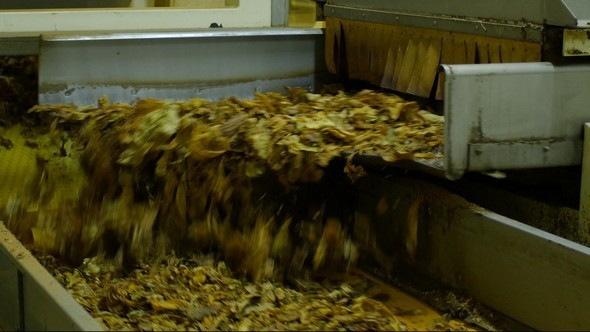 Tobacco Leaves Transported by Conveyor Belt