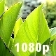 Canna Leaves - VideoHive Item for Sale