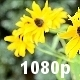 Yellow Echinacea (Rudbeckia) - VideoHive Item for Sale
