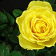 Yellow Rose Flowering - VideoHive Item for Sale