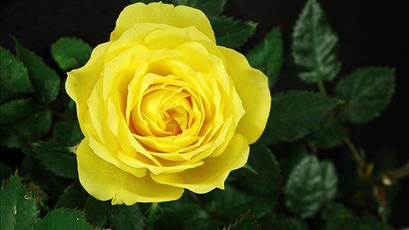 Yellow Rose Flowering