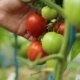 A Woman Picks Ripe Tomatoes - VideoHive Item for Sale