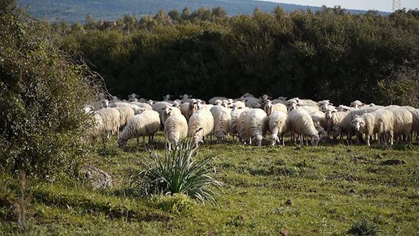 Flock Of Sheep Browsing Grass