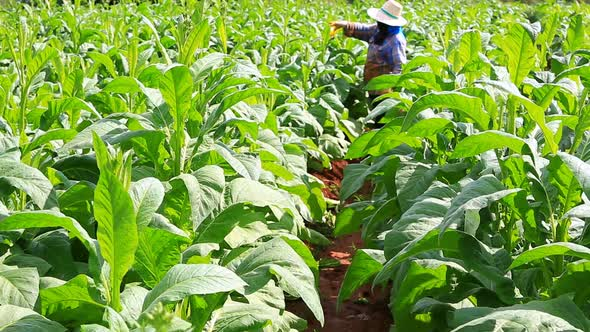Thai Woman Put Insecticide And Fertilizer In Tobacco Plant 7