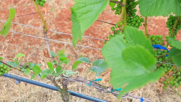 Grape Garden Plant In Thailand 1