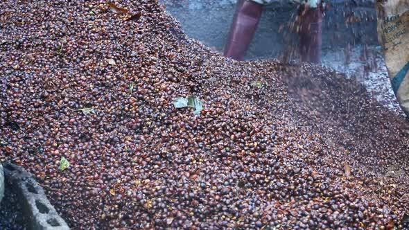 Make Fertilizer From Bark Coffee Bean 2