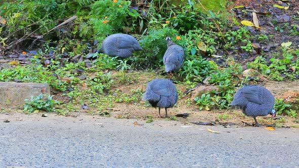 Turkeys Eat Food On The Ground 1