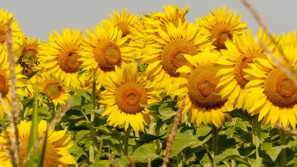 Beautiful Blooming Field Of Sunflowers