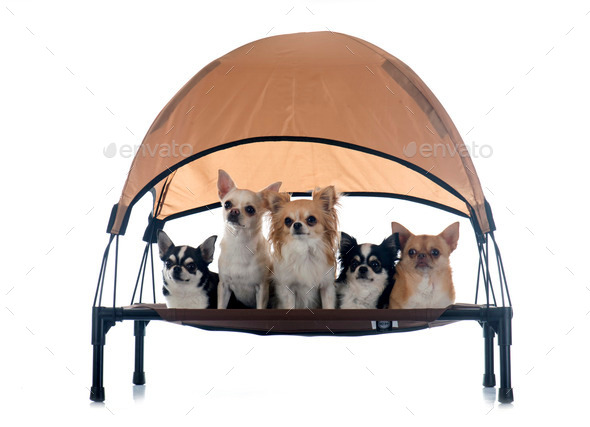 chihuahuas on four-poster - Stock Photo - Images