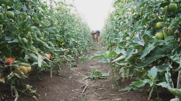 Harvest Helper Picking Up Tomatoes