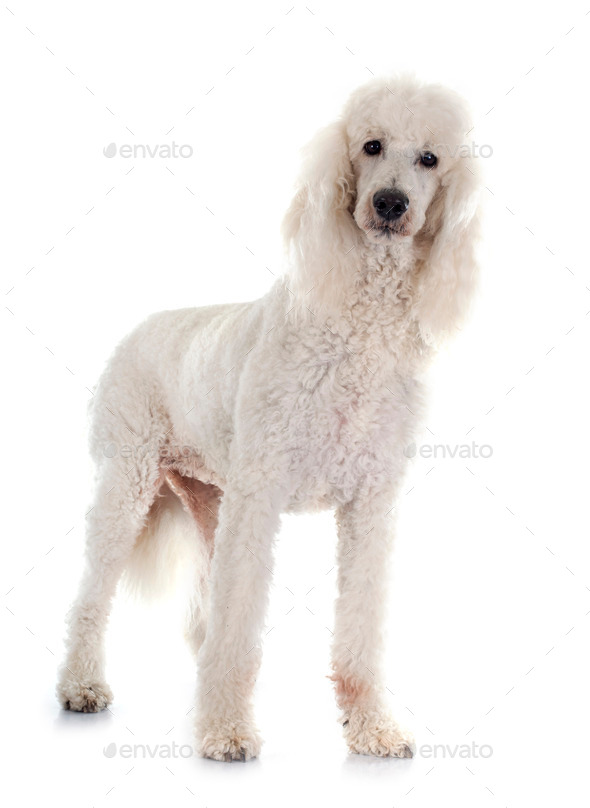 standard poodle - Stock Photo - Images