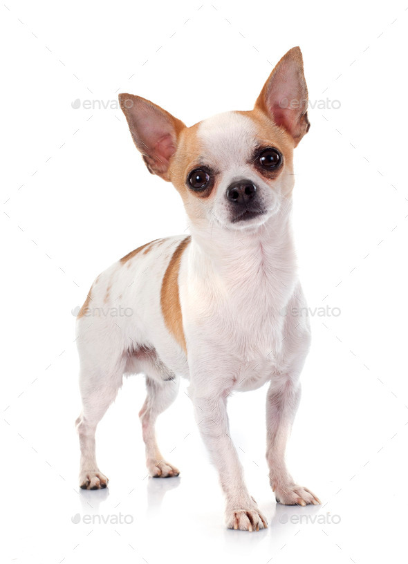 young chihuahua - Stock Photo - Images