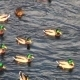 Ducks On Water - VideoHive Item for Sale