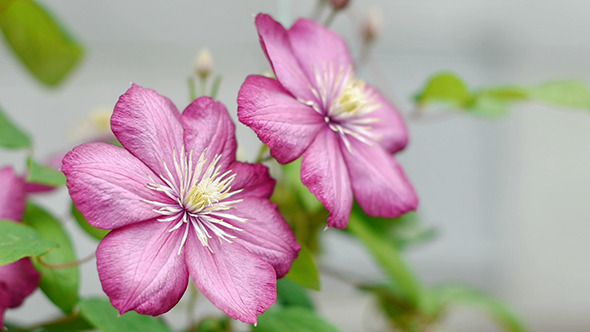 Clematis Flowers 1