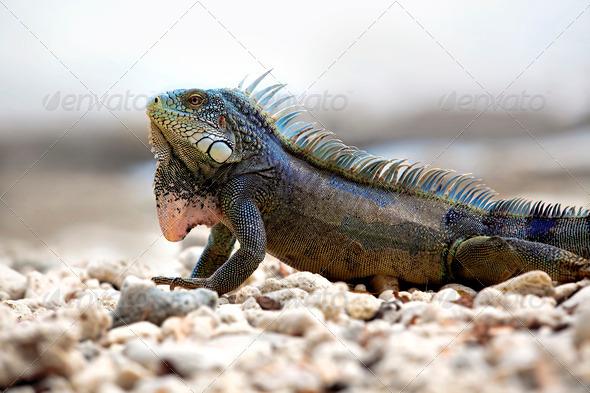 Iguana - Stock Photo - Images