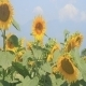 Sunflowers - VideoHive Item for Sale
